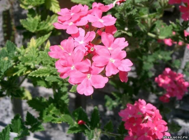 многолетние садовые цветы фото.